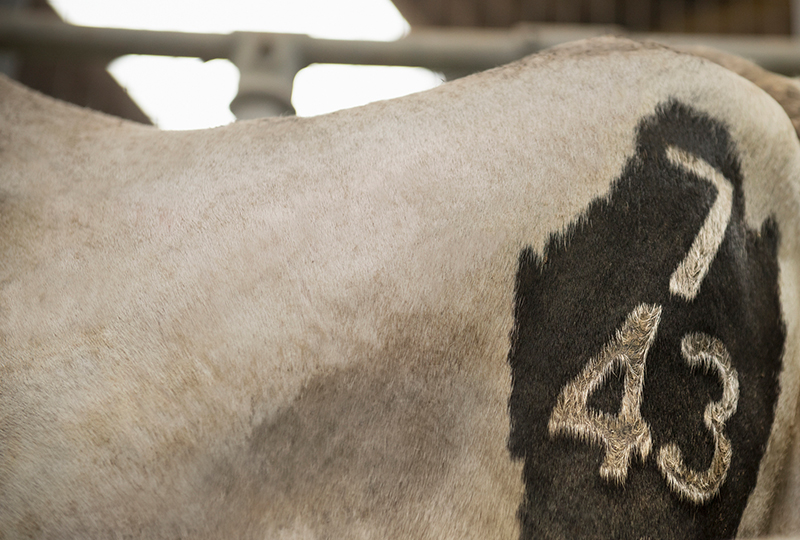 Branded Black and White Cow with Mark on Side