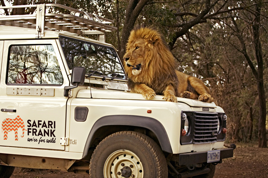 Branding Safari Frank Lion Sitting on Front of Car